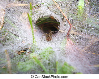 European Funnel Web Spider - Close up of a European Funnel...