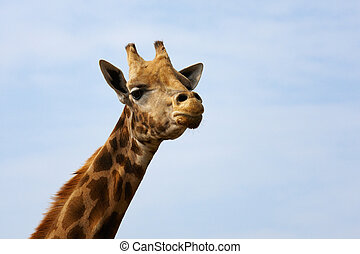 Portrait of a Rothschild Giraffe with his head in the blue...