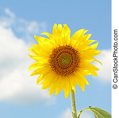 Sunflower, Helianthus annuus, on a sunny day against blue...