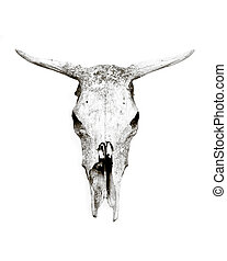 Cow skull - Old weathered cow skull isolated on white...