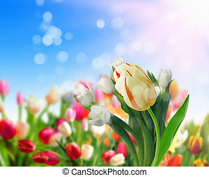 tulip flower fields - picture of tulip fields and blue sky