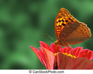 butterfly on flower - butterfly Silver-washed Fritillary...