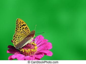 butterfly sitting on flower - butterfly Silver-washed...