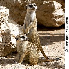 couple, curieux, Meerkats