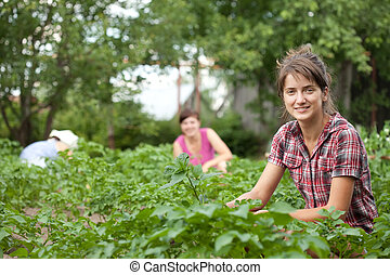 women working in field of potato - Three women working in...