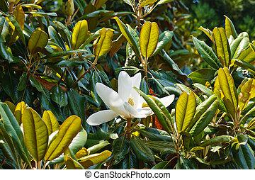 Single White Magnolia Blossom in Tree - A single white...