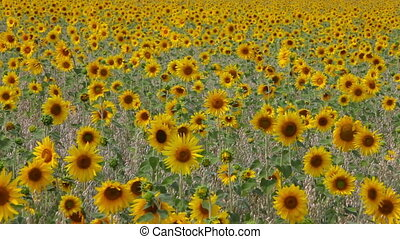 Sunflowers field - A meadow of sunflowers swinging in the...