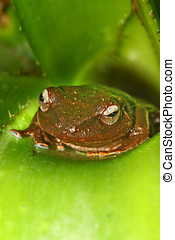 Brown Coqui - Common Brown Coqui frog in bromeliad...