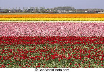 Flowerfields in Holland - Extensive flowerfields of many...