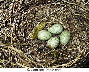 Thrush eggs in bird nest
