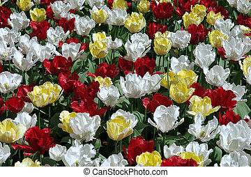 Natural backgrounds: tulips