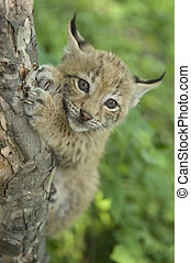 lynx, kitten of lynx, child of lynx - Khrushchev Georgy...