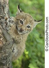 lynx, kitten of lynx, child of lynx - Khrushchev Georgy...