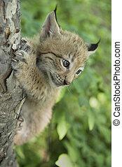 lynx, kitten of lynx, child of lynx - a kitten of lynx is in...