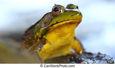 Green Frog (Rana clamitans) in a wetland of Illinois.