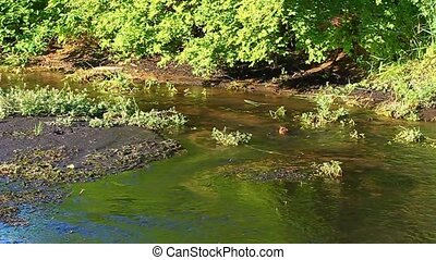 Muskrat Ondatra zibethicus carries vegetation up a stream in...