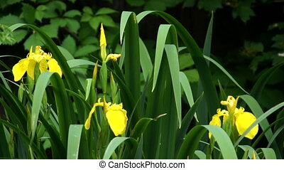 Yellow iris flower bloom in green grass
