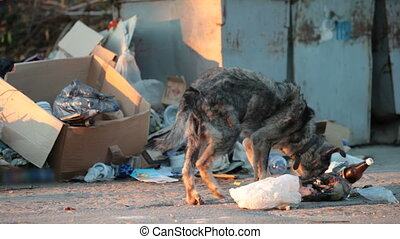 homeless dog feeding into garbage c - homeless hungry dog...