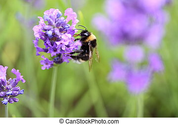 bumble bee collecting pollen