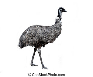 emu - an australian emu walking along