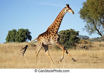 Running giraffe - Giraffe (Giraffa camelopardalis) running...
