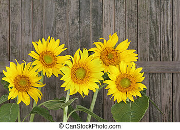Sunflowers, Helianthus annuus - Sunflower, Helianthus...