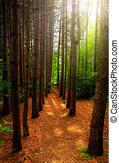 Tall Trees and Path Through Forest - A path, bordered by...