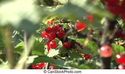 currants in the garden