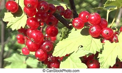 currants in the garden.