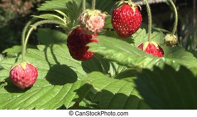 strawberry,  - Fresh, ripe strawberries, still on the bush.