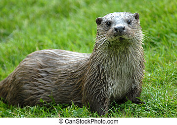 Otter with wet fur sitting on a meadow