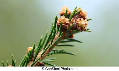 Blossom spruce twig