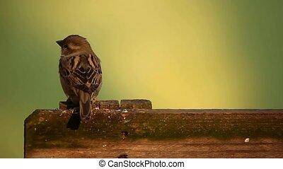 Sparrow on fence - Little sparrow on board fence