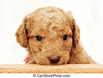 Peek-a-boo - Golden Doodle Puppy looking over counter
