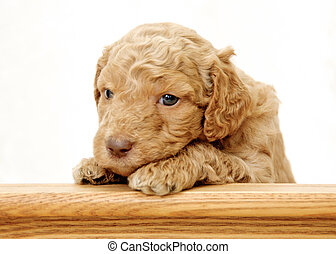 Peek a boo - Golden Doodle Puppy looking over counter