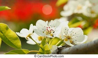 Blooming spring tree - Blooming pear tree flowers in wind