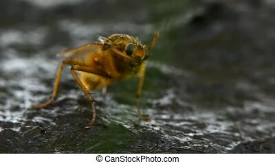 Yellow dung fly cleaning - Extreme macro of a yellow dung...