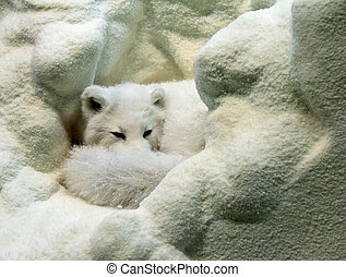 Arctic Fox - Model of arctic fox; Arctic fox is sleeping in...
