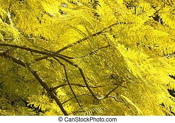 Jacaranda, hojas