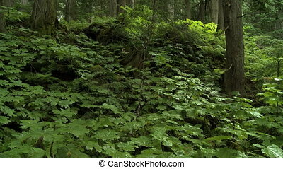 Giant Cedars - Large cedar trees in the forest