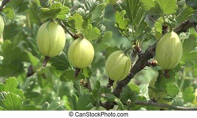 gooseberry - gooseberries in the garden matures.