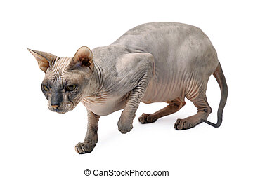 hairless oriental cat - cute hairless oriental cat isolated...
