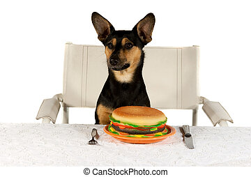 Jack Russel Terrier at Table - Jack Russel Terrier is eating...