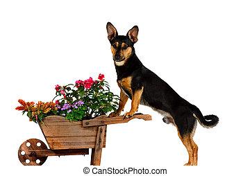Jack Russel Terrier is gardening