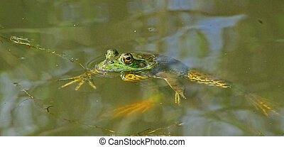 large green frog in a pond