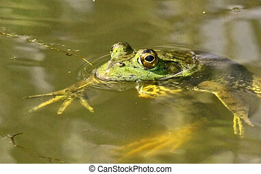 large green frog in a pond - a very large, lazy green frog...
