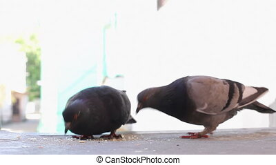 Pigeons eating bread