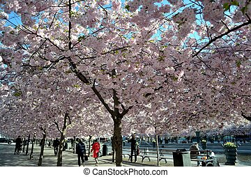 cherry trees - flourished cheerry trres in a park