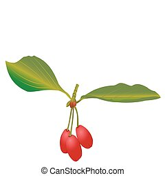 Cornelian cherries - Illustration of a cornelian cherries...