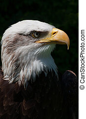 head profile of american bald eagle